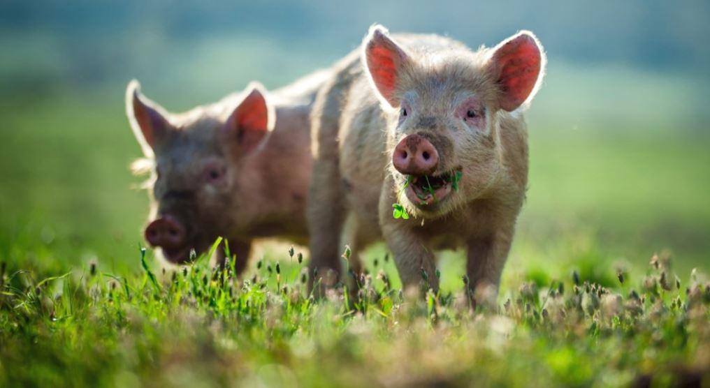 Herkomst varkensvlees steeds belangrijker voor de consument